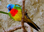 Title: Scarlet-chested Parrot