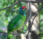 Title: Barbet from my window