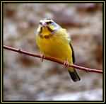 Title: Yellow-fronted Canary