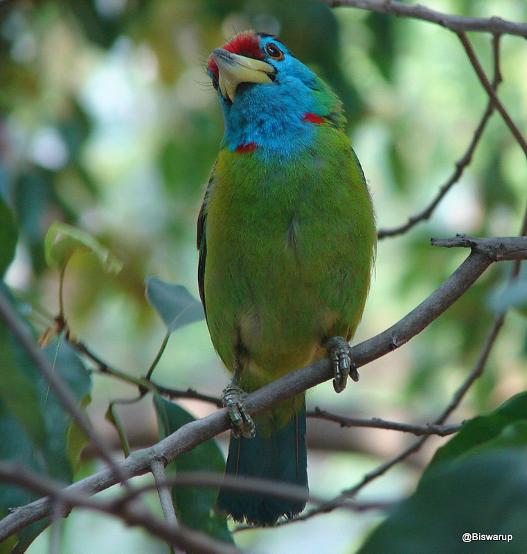 The blue-throated barbet