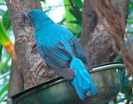 Title: Asian Fairy Bluebird-Female