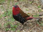 Title: Red-throated Twinspot