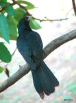 Title: Asian koel-male