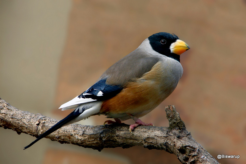 Black-tailed Hawfinch