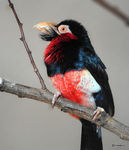 Title: Bearded barbet