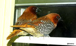 Title: Scaly breasted Munia