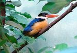 Title: Black-capped KingfisherSony DSC-HX400V