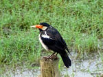 Title: Pied Myna