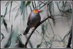 Title: Orange-cheeked Waxbill