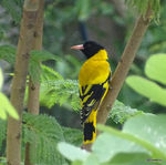 Title: Black hooded Oriole