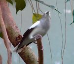 Title: White-shouldered Starling