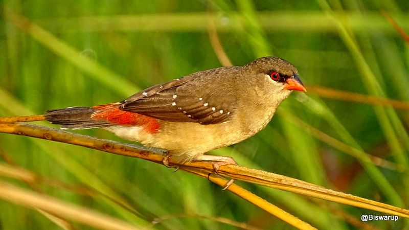 Strawberry finch-Female