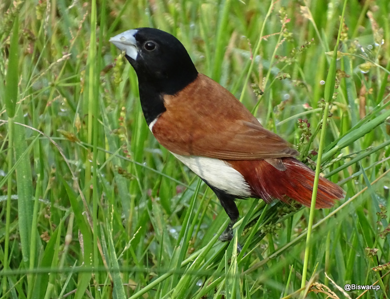 Tricoloured munia