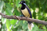 Title: Plush-crested Jay