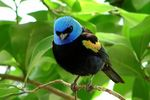 Title: Blue-necked Tanager