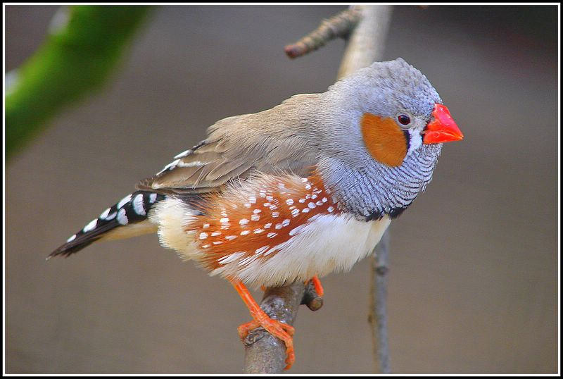 Mr. Zebra Finch