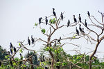 Title: Little black cormorant tree