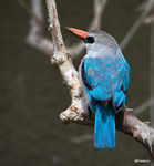 Title: Woodland kingfisher