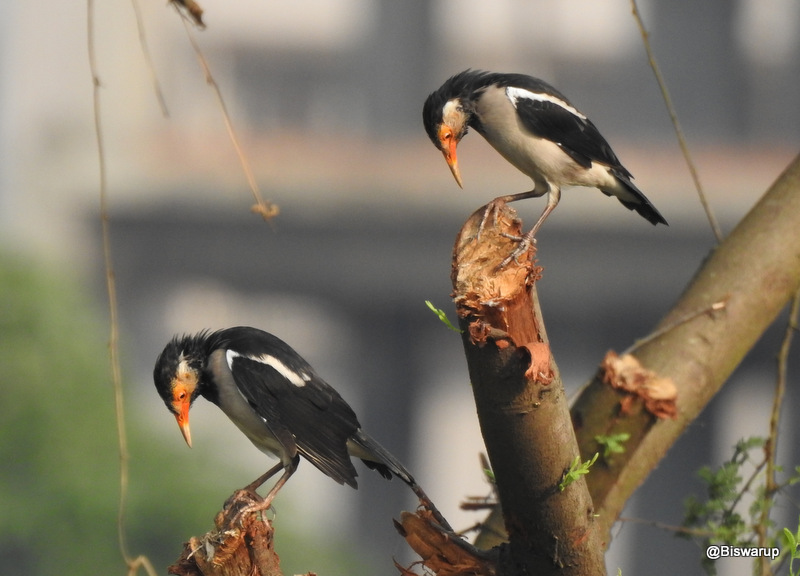 Asian Pied Starlings