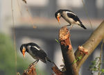 Title: Asian Pied Starlings