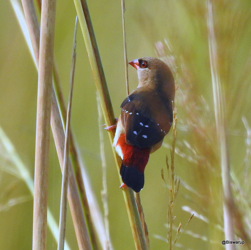 Red Munia-Female