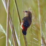 Title: Red Munia-Female