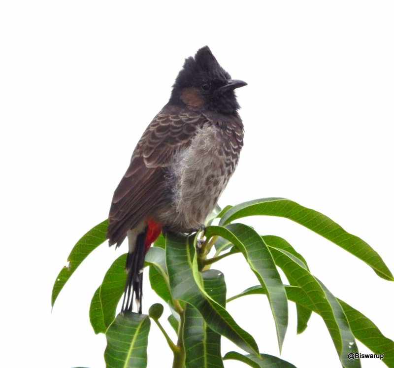 The red-vented bulbul