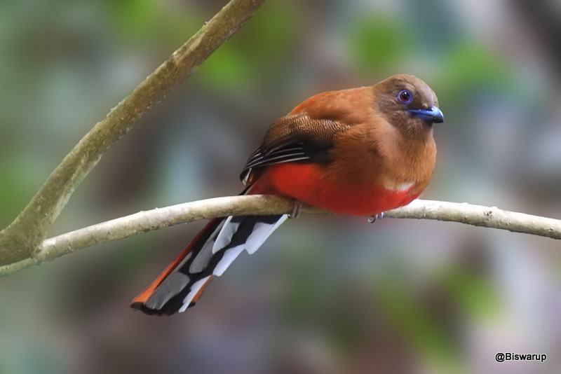 Red-headed trogon (F)