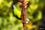 Title: Orange-bellied leafbird (F)