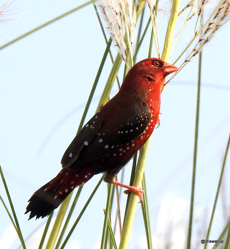 The red avadavat