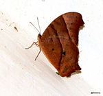 Title: Common Evening Brown Butterfly
