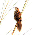 Title: Striated Grassbird
