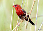 Title: Red Munia