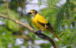 Title: Black-hooded oriole