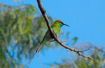 Title: Green Bee-eater