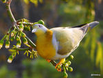 Title: Yellow-footed green pigeon