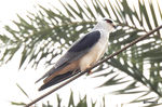 Title: Black-winged kite