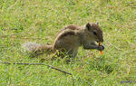 Title: Squirrel eating