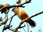 Title: Chestnut-tailed starling
