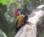 Title: Common Flameback in problem
