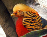 Title: The Golden Pheasant