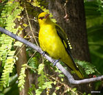 Title: Indian Golden Oriole-Female