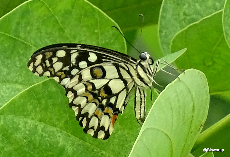 Northern lime swallowtail