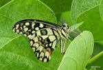 Title: Northern lime swallowtailSony DSC-HX400V