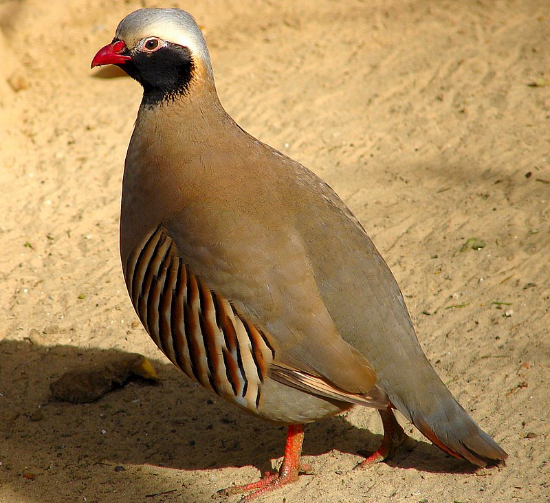 Philby`s Rock Partridge