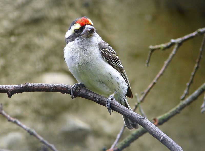 Red-fronted Barbet