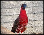 Title: Crimson horned pheasantSony DSC-H1