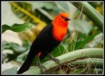 Title: Scarlet-headed Blackbird