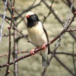 Title: Straw-tailed Whydahs