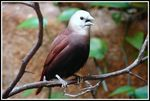 Title: White headed Munia